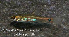 tetras slender tetra iguanodectes purusii wet spot tropical fish see ...