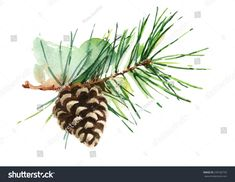 Pine Cone On Branch Hand Painted Watercolor Illustration on white background Mais Watercolor Trees, Watercolor Cards, Watercolor Illustration, Watercolor Paintings, Watercolors, Hand Illustration, Christmas Paintings, Christmas Art, Xmas
