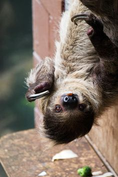 Leander the two-toed Sloth