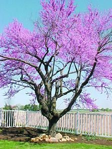 Eastern Redbud | Cercis canadensis