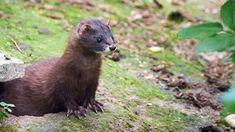 İspanya'da koronavirüs tespit edilen yaklaşık 100 bin vizon itlaf edilecek! Ferret, Animals, Animales, Animaux, Ferrets, Animal, Animais, European Polecat