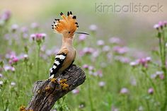 Hoopoe perched on tree stump in flowering meadow