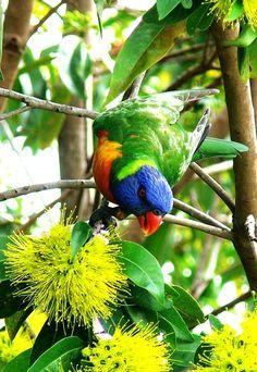 The Rainbow Lorikeet, (Trichoglossus haematodus) is a species of Australasian parrot found in Australia, eastern Indonesia (Maluku and Western New Guinea), Papua New Guinea, New Caledonia, Solomon Islands and Vanuatu.
