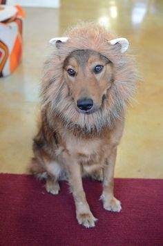 The cutest lion dog costume we've ever seen! #roar