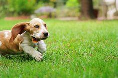 Louie the Basset Hound Puppy 10