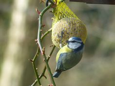 Your local will have a selection of fat balls to help you attract some feathered friends to your plot Blue Tit, Small Birds, Bird Feeders, Free Stock Photos, Wildlife, Animals, Balls, Chow Chow, Voici