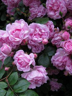 Pink Rambler - Rambling Rose