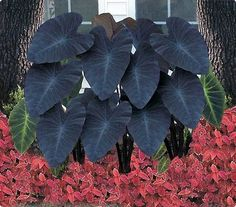 Black Magic' Elephant Ears (Colocasia esculenta