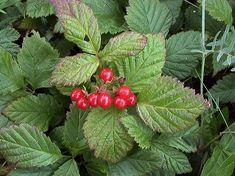 Stenbär, Rubus saxatilis - Blomväxter - NatureGate Edible Mushrooms, Bramble, Medicinal Plants, Home Remedies, Wild Flowers, Flora, Berries, Scenery, Fruit