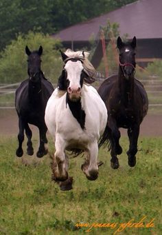 """""""Flying"""" home....dinner time!  Love how all three have their hooves off the ground"""