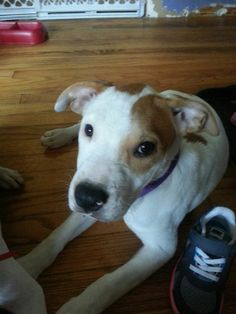 "Meet Demeter Demeter is one of our sweet faced, ""Olympus"" puppies saved over the weekend. She is 4-5 months old and believed to be a Pit bull, Pointer mix. This litter is very well behaved, and already doing great on crate training. They are all in..."