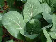 Dark Leafy Greens - 10 Superfoods ALL Vegans should consume! Article by Butterflies Katz: http://vivalavegan.net/community/articles/154-10-superfoods-all-vegans-should-consume.html