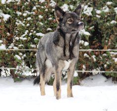 SAAGA Husky, Dogs, Animals, Animales, Animaux, Doggies, Animais, Husky Dog, Dog