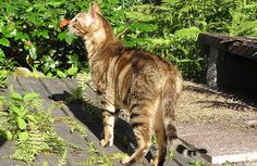 Sokoke Forest Cat | Breed History, Information and Pictures - Pet360 Pet Parenting Simplified