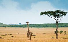 Africa Giraffe