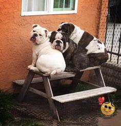 ❤ Petunia,Guapo & Panda ❤ Posted on Baggy Bulldogs