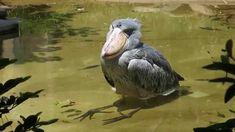 shoebill、水浴びで恍惚状態のハシビロコウ