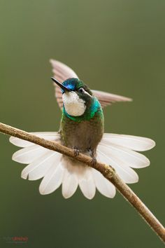 White-throated Mountaingem (Lampornis castaneoventris) is a Hummingbird, endemic to Costa Rica and Panama at San Gerardo de Dota Pretty Birds, Love Birds, Beautiful Birds, Animals Beautiful, Beautiful Pictures, Small Birds, Little Birds, Colorful Birds, Polo Norte