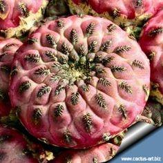 "Sulcorebutia rauschii WR 289 cv. ""violacidermis"" Chuquisaca Sucre. Bol. Own root, pot 6x6 cm"