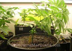 How To Grow Marijuana With Low Stress Training -