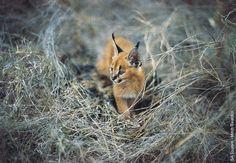 caracal kitten - persian lynx or african lynx