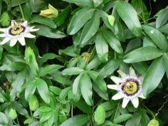 SANTERIA MAFERBA: PASIONARIA o Flor de la Pasión