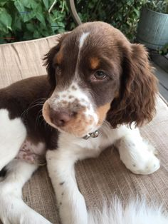 """Acquire excellent suggestions on """"cocker spaniel"""". They are actually offered for you on our site. Cute Dogs And Puppies, I Love Dogs, Doggies, Corgi Puppies, Cute Baby Animals, Animals And Pets, Chien Goldendoodle, Springer Spaniel Puppies, English Springer Spaniel"""