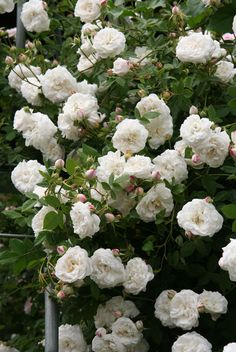 Rose 'Mme Plantier'- an Alba, beautiful matte blue/green foliage and arching stems, can be trained as a climber, once bloomer but profuse and very fragrant. Beautiful Rose Flowers, Love Flowers, White Flowers, Rose Hedge, Pink Day, Old Rose, Antique Roses, White Gardens, Colorful Garden