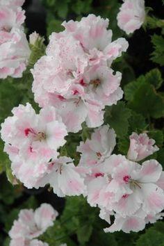 Pelargonium 'Joan Morf' Geranium