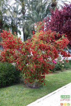 arbres croissance rapide pour les jardiniers impatients jardin pinterest fleurs rouges. Black Bedroom Furniture Sets. Home Design Ideas