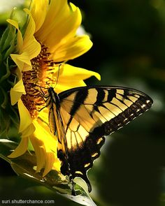 Sunflower and butterfly...beautiful, love them! <pin by Alissa (Liz) on Butterfly>