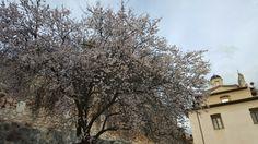 The beautiful almond blossom is now seen all over Navelli  In questi giorni Navelli è piena di mandorli in fiore!! #Abruzzo #travel #italy #navelli #abruzzosegreto #abruzzen #zafferano #saffron #borghi