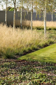 birches, grasses and chelsea grey wall