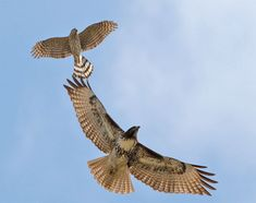 juvenile red tailed hawk AND a widdle baby sharp shinned hawk? Or it might be a coopers hawk..idk