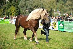Noriker stallion Zeit Schaunitz XVI Draft Horse Breeds, Draft Horses, Noriker Horse, Dream Barn, Appaloosa, Animals, Animales, Animaux, Animal