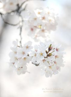white apple blossoms | spring flowers . Frühlingsblumen . fleurs printemps | @ Petit Garden |