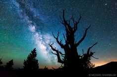 Bristlecone - oldest trees