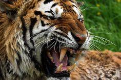 tigre de malasia - Buscar con Google