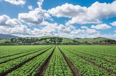 The Salinas Valley Half Marathon returns next month after California fires led to its cancellation last year. Running Magazine, Agriculture Industry, Central California, Lettuce, Marathon, The Row, Fields, Harvest, Vineyard