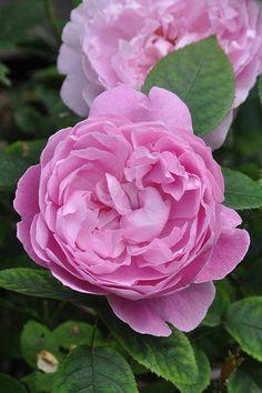 Ausmary (aka Mary Rose) ~ English Shrub Rose