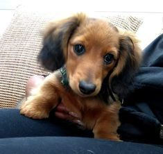 wow oh so cute like omg Weenie Dogs, Dachshund Puppies, Cute Dogs And Puppies, Pet Dogs, Doggies, Cute Baby Animals, Animals And Pets, Amazing Animal Pictures, Little Dogs