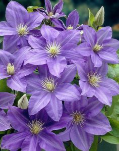 Clematis 'Lady Northcliffe' • Plants & Flowers • 99Roots.com