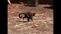 """""""O Grito do Bicho"""": Macaco que importunava moradores de Cambé é levado..."""