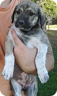 Great Pyrenees/Mastiff mix Mastiff mix, Dog breeds