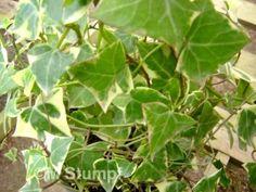 Hera do Cabo (Senecio macroglossus)