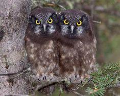 Boreal Owl Chicks