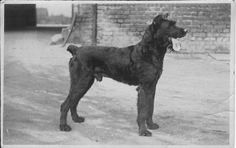 This dog belonged to Adolf Löwenhardt (1883-1944) in Dortmund-Lindenhorst. His name was Waldmann. Adolf's youngest son (1919-2006) roamed the neighbourhood and visited Polish miners' families at the side of Waldmann.