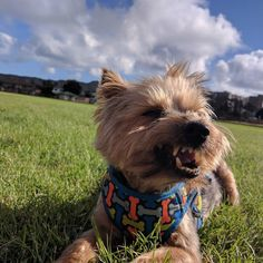 Best #godzilla imitation #yorkiesofinstagram #yorkie #yorkshire #terrier #yorkshireterrier #terrytheterror #dogsofinstagram #dogs #chewbacca #犬 #ねむい #おやじ #おやすみ #instadog #ハワイ #ホノルル #hawaii #honolulu #doggy #dogsofinstagram #pets #slb #terriers #dog #yorkie_feature #ヨーキー #yorkies #ヨークシャーテリア#proudyorkies_feature #humansbestfriend