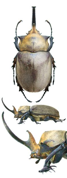 Megasoma occidentalis
