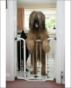 Photograph-DOG - Briard dog behind baby gate, looking Photo Print expertly made in the USA Baby Dogs, Pet Dogs, Sheep Dogs, Doggies, Phteven Dog, Fine Art Prints, Framed Prints, Canvas Prints, Stem Cell Therapy
